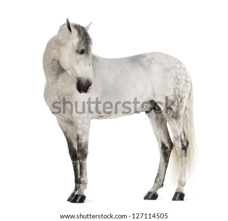 Male Andalusian, 7 years old, also known as the Pure Spanish Horse or PRE, looking right against white background - stock photo