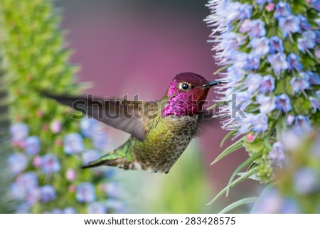 Male Anna's Hummingbird flying on flowers - stock photo