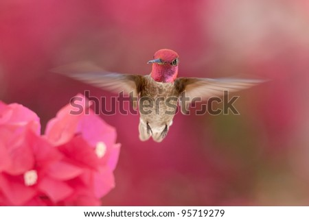Male Anna's hummingbird with rose-red crown flying to Bougainvillea - stock photo