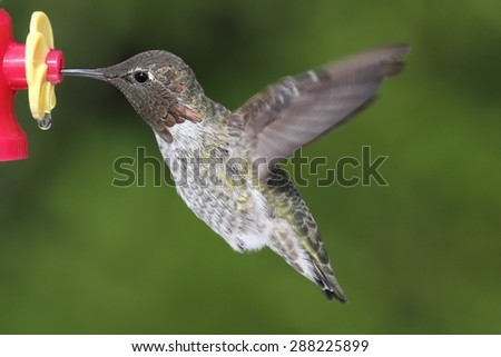 Male Annas Hummingbird (Calypte anna) in flight at a feeder with a green background - stock photo
