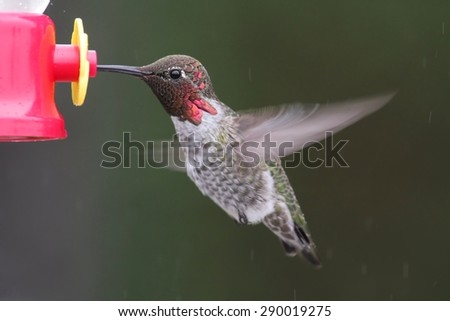 Male Annas Hummingbird (Calypte anna) in flight at a feeder with a green background with falling rain - stock photo