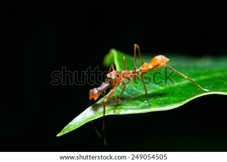 Male ant spider in asia. (Kerengga ant like jumper.)