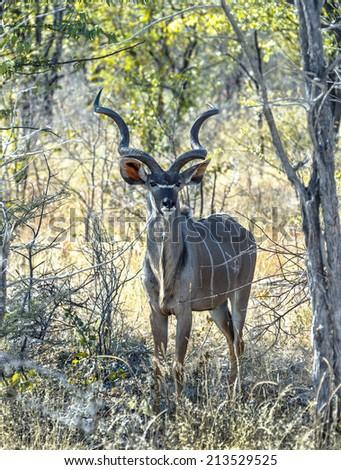 Male antelope Kudu (Tragelaphus strepsiceros) at the forest in Etosha National Park - Namibia, South-West Africa - stock photo