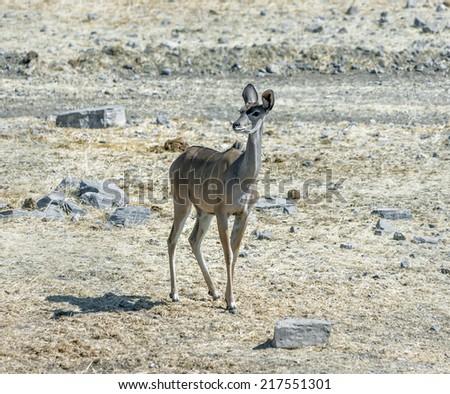 Male antelope Kudu (Tragelaphus strepsiceros) in Etosha National Park - Namibia, South-West Africa - stock photo