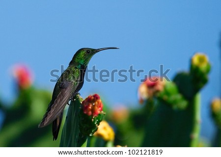 Male Antillean Mango hummingbird (Anthracothorax dominicus) resting on blooming cacti. Photograph taken in the wild (Dominican republic, near Punta Cana) - stock photo