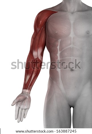 Male arm hand muscles anatomy isolated - stock photo