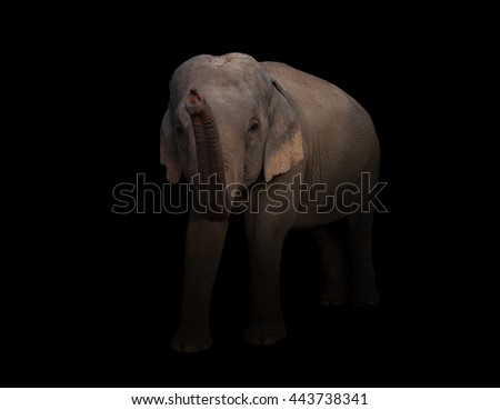 male asia elephant in the dark with spotlight