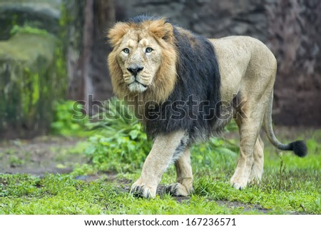 male asiatic lion coming to you - stock photo