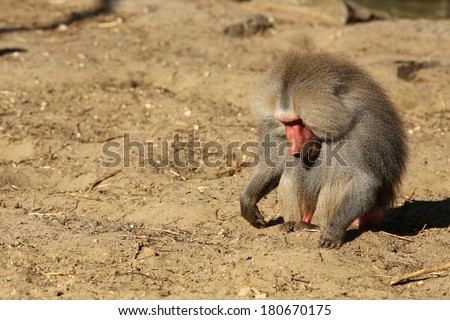 Male baboon looking for food - stock photo