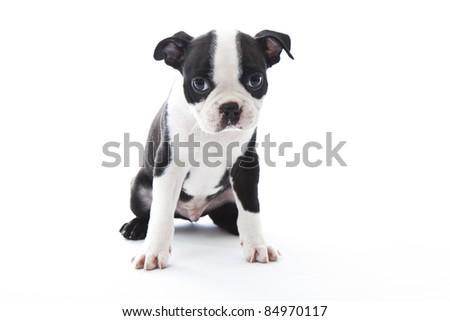 Male baby Boston Terrier on white, horizontal. - stock photo