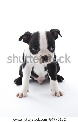 Male baby Boston Terrier on white, vertical. - stock photo