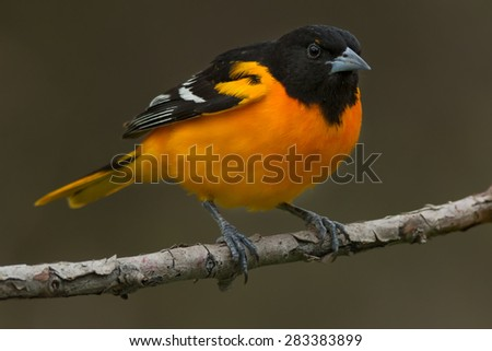 Male Baltimore Oriole perched on a branch.