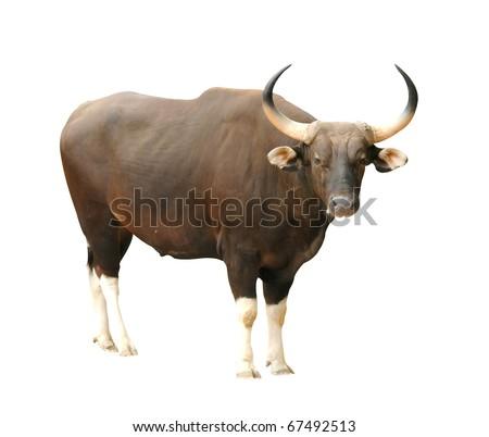 male banteng isolated - stock photo