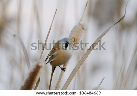 Male Bearded Tit - stock photo