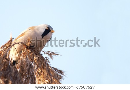 Male Bearded Tit (Panurus biarmicus) eating reed seeds in a cold November morning. - stock photo