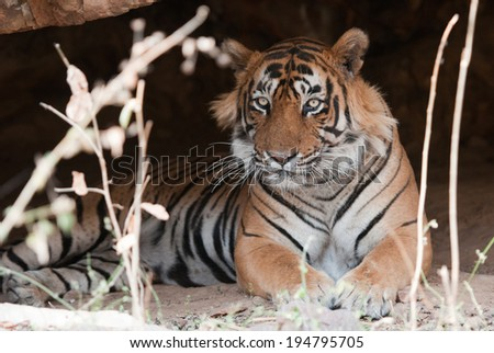male Bengal tiger lying in a cave - national park ranthambore in india - rajasthan - stock photo