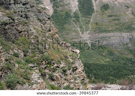 Male Bighorn Sheep playing in Glacier National Park