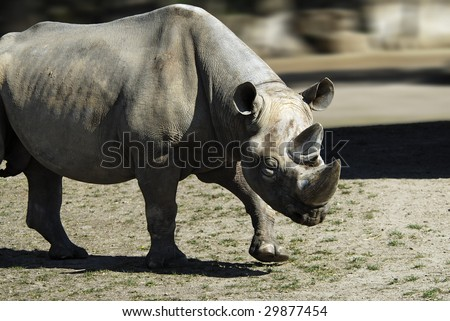 male Black rhino (Diceros bicornis) in a menacing position - stock photo