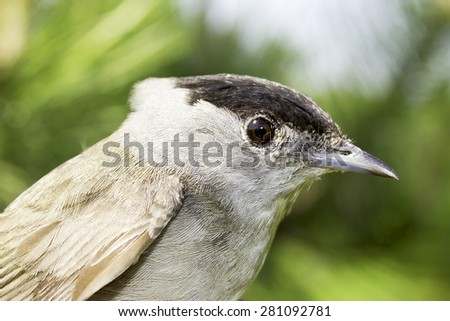 Male Blackcap portrait / Sylvia atricapilla - stock photo