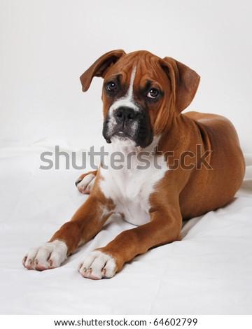 male boxer puppy - stock photo