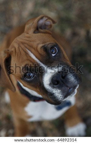 Male boxer puppy looking up at camera - stock photo