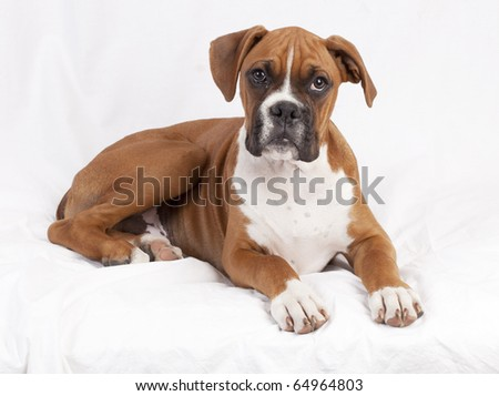 male boxer puppy posing.  plain background - stock photo