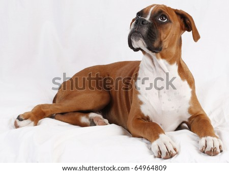 male boxer puppy posing.  plain background - stock photo