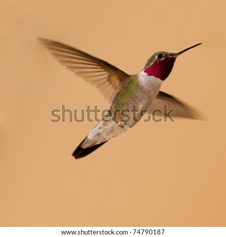 male broad-tailed hummingbird flying, prominent re gorget  Selasphorus platycercus - stock photo