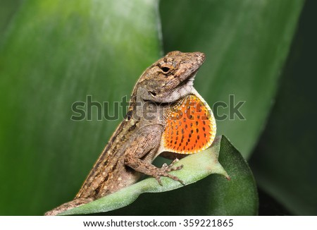 Male Brown Anole with Throat Fan Expanded  - stock photo