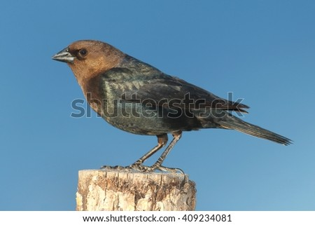 Male Brown-headed Cowbird (Molothrus ater) on a perch with a blue background - stock photo