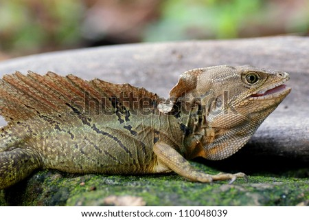 Male Brown or Common Basilisk lizard, Basiliscus basiliscus, gaping defensively - a dragon like lizard with crest and sail that is capable of running across water to escape - stock photo