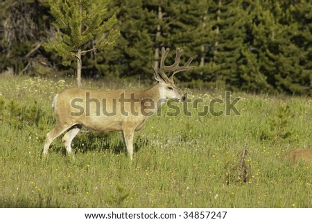 Male (Buck), Mule deer (odocoilus hemionus) in Yellowstone National Park