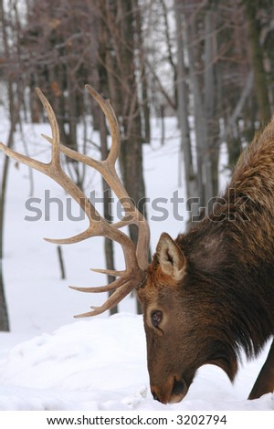 male buck with his antlers head shot - stock photo