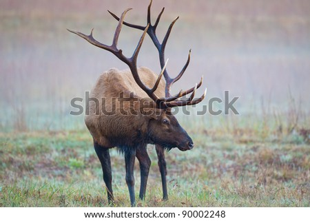 Male bull elk shows huge antlers on misty morning - stock photo