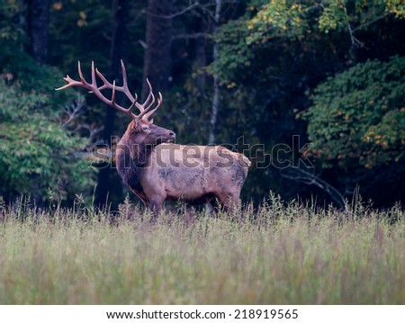 Male bull elk sniffs  the air for scent during rut - stock photo