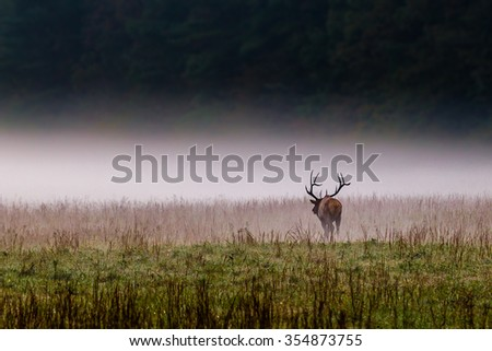 Male bull elk walks into the mist in North Carolina - stock photo