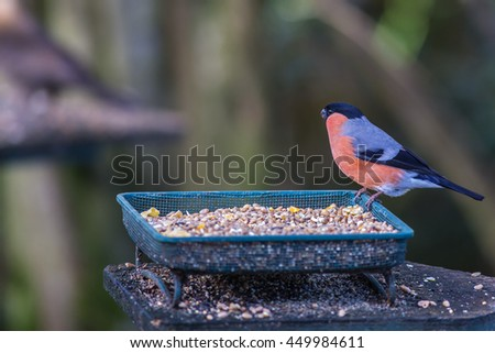 Male Bullfinch.