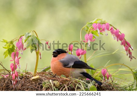 male bullfinch standing on the ground with violet flowers