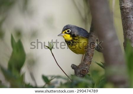 Male Canda Warbler (Cardellina canadensis) perched in a tree during spring migration - Grand Bend, Ontario - stock photo