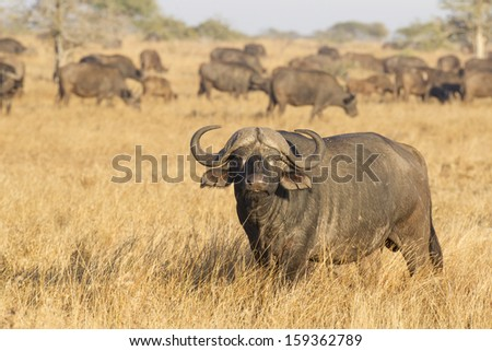 Male Cape Buffalo, (Syncerus caffer) with herd, Kruger Park, South Africa - stock photo