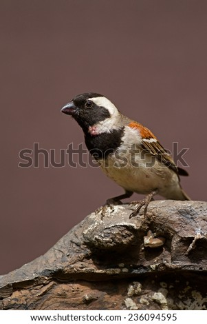 Male Cape Sparrow perched on rock; Passer melanurus - stock photo