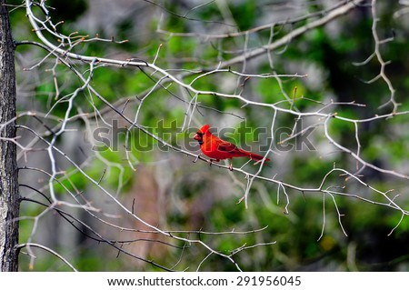 Male Cardinal eating an insect while perched on a tree branch in Spring - stock photo