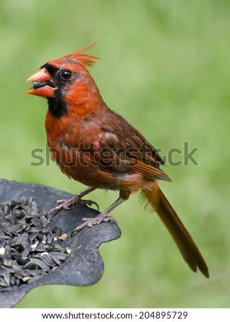 Male Cardinal feeding on sunflower seeds - stock photo