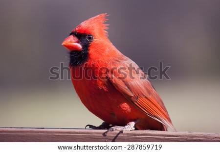 Male cardinal in full color perched on a board standed brown with a grey and green background - stock photo