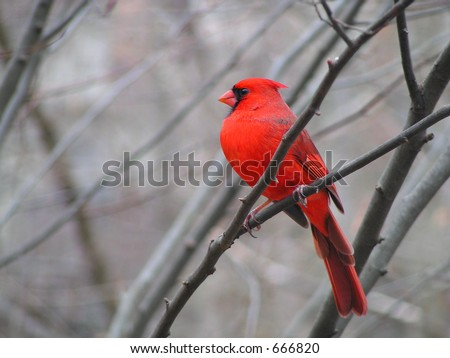 Male Cardinal in Winter - stock photo