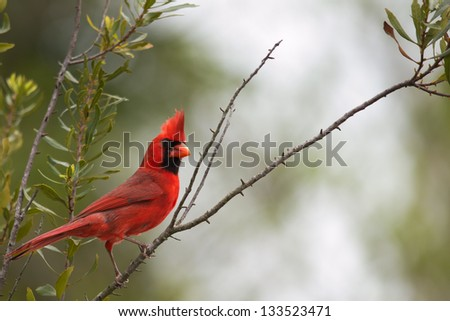 Male cardinal looking over its shoulder while perched on tree branch. State bird of Illinois, Indiana, Kentucky, North Carolina, Ohio, Virginia and West Virginia  - stock photo