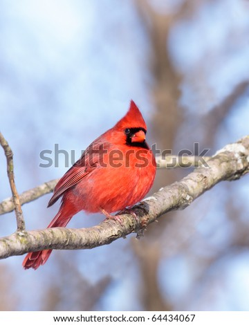 male cardinal nestled in the branches of a leafless tree; background consists of the shallow focus of  browns, tans of the forest along with the soft blues of the sky - stock photo