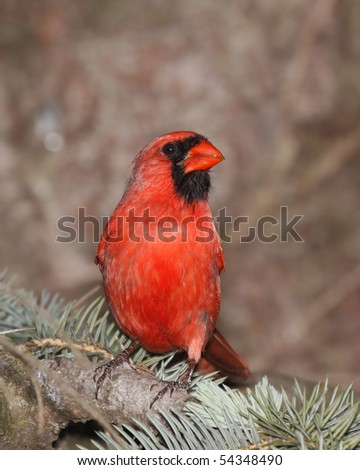 male cardinal on the lookout white sitting in a blue spruce - stock photo