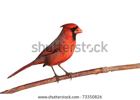 male cardinal perched on a branch chews on a safflower seed; white background - stock photo