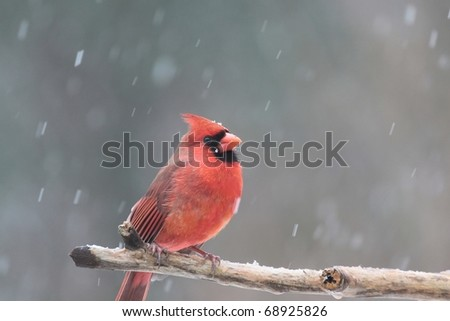 male cardinal sitting on a branch in a snowstorm
